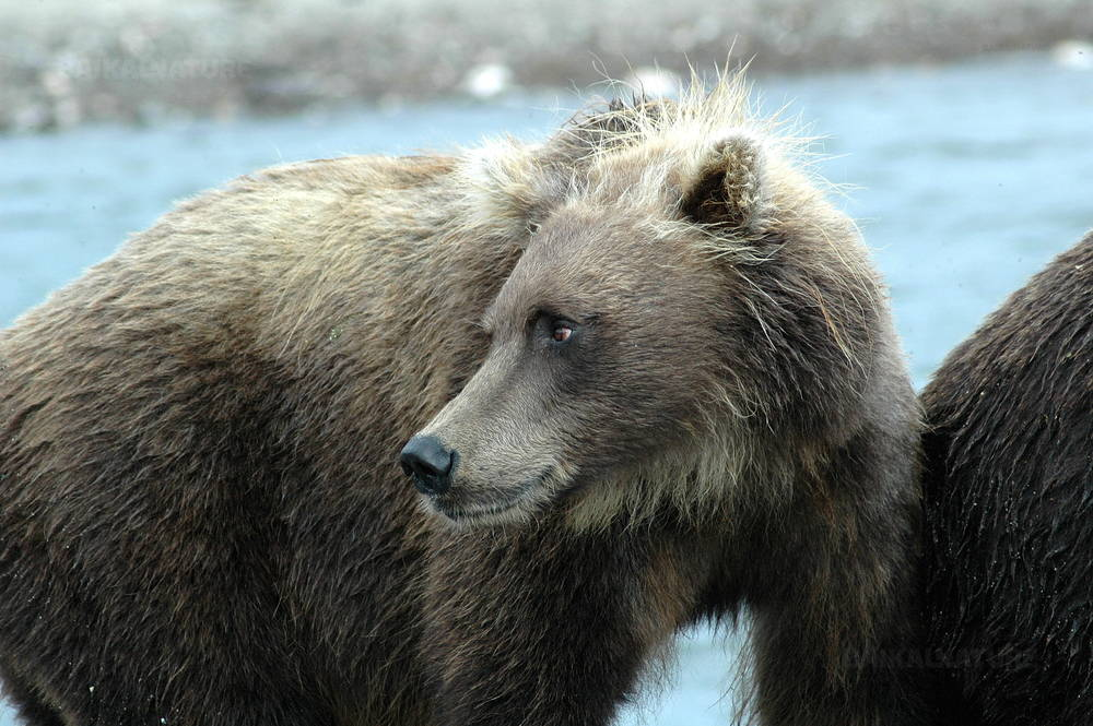Brown bear, Shantar islands