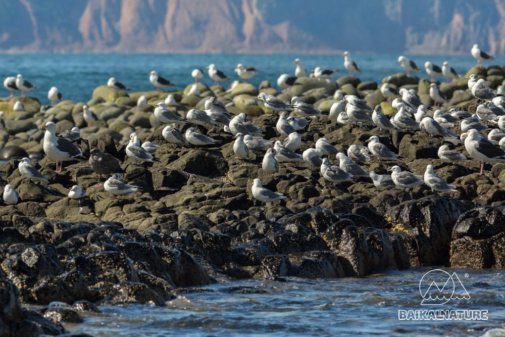 Стая морских чаек на скале Тихого океана.