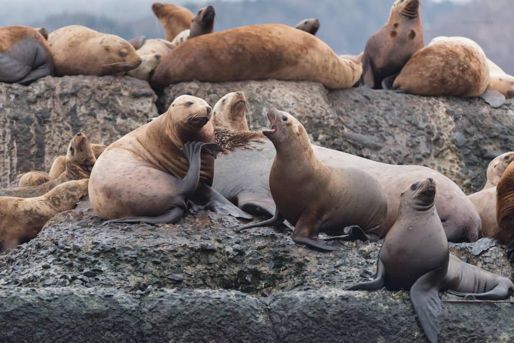 Морские львы на западном побережье острова Сахалин. Король и его свита.
