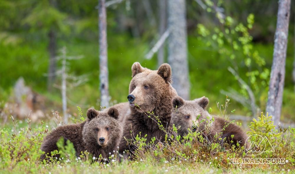 Медведица и медвежата бурого медведя  в летнем лесу.