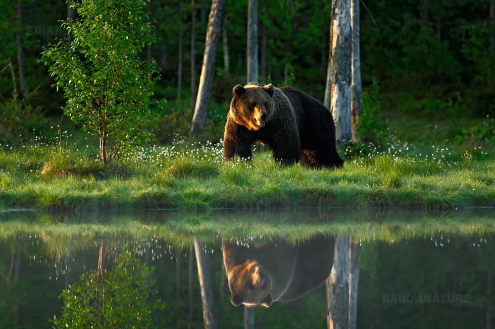 Большой бурый медведь на прогулке вокруг озера в лучах утреннего солнца.  Отражение  медведя в воде.