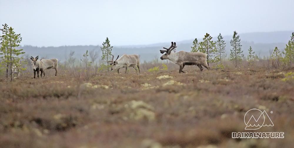 Северные олени с вожаком стада.