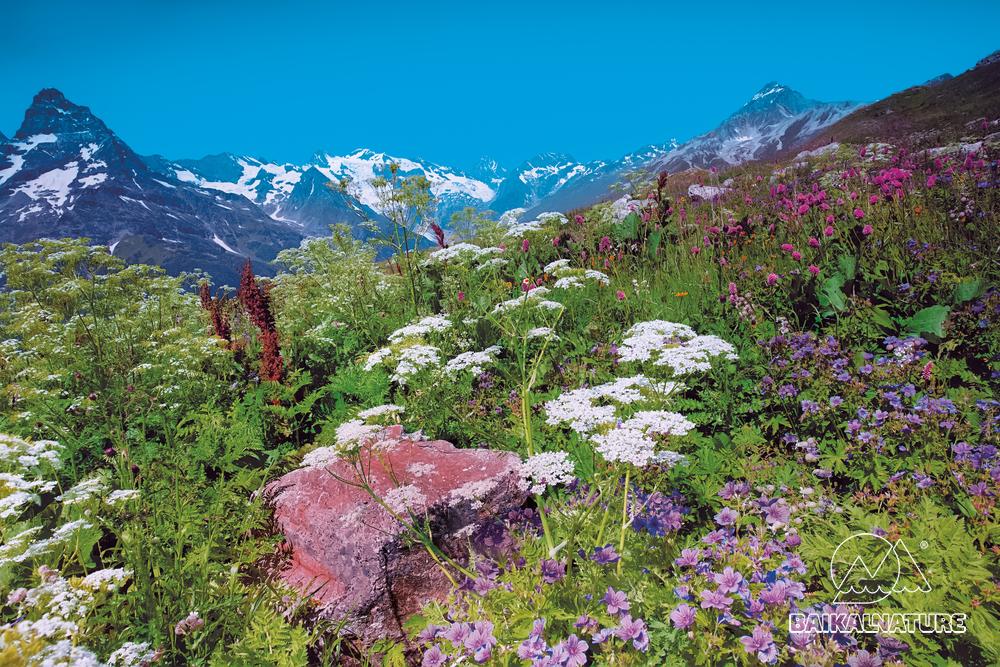 Альпийские луга на горе Домбай-Ульген. Карачаево-Черкеся.